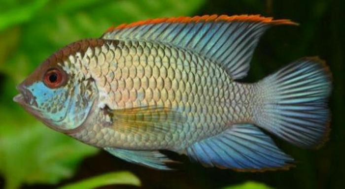 Аквариумние рибки цени договорние. Photo 8