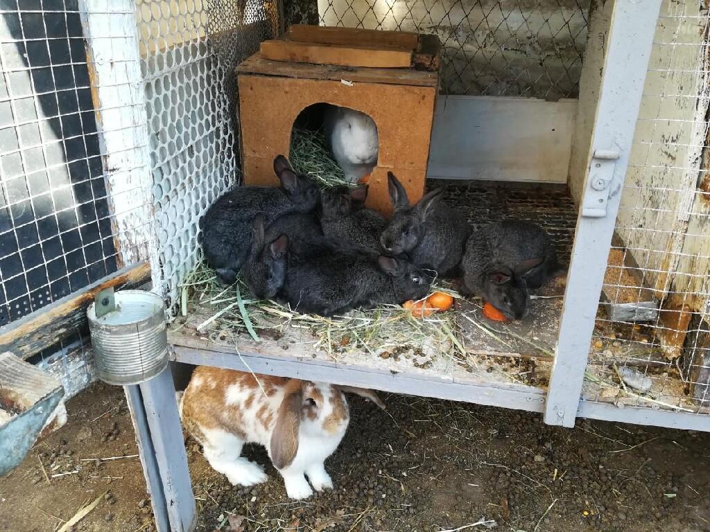 Продаю крольчат помись Нзб и серый великан месяц по 250 сом. Photo 2