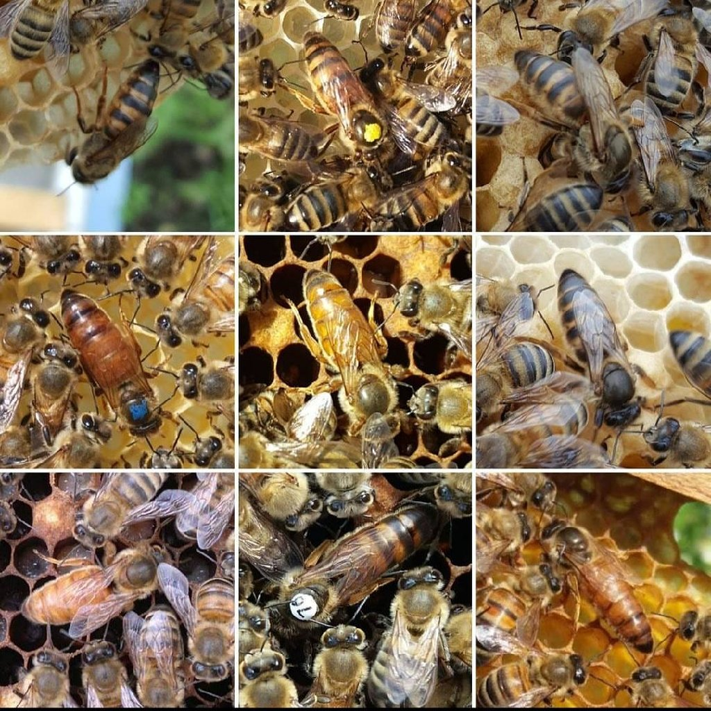Ana arı . Hər növinin satşı tam mayalanmış və ilinə görə boyalı