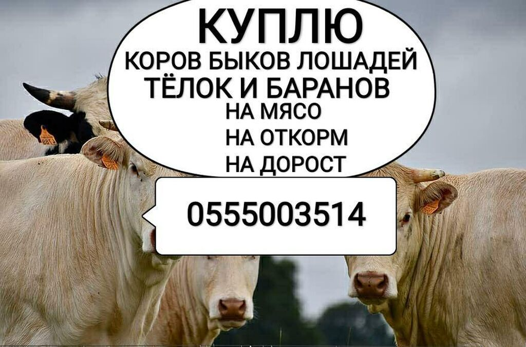 Куплю | Коровы, быки: Куплю | Коровы, быки