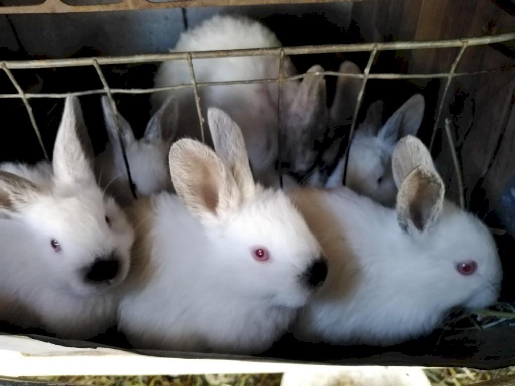 Продаю чисто кровных кроликов Калефорния родились 22. 09. Photo 3