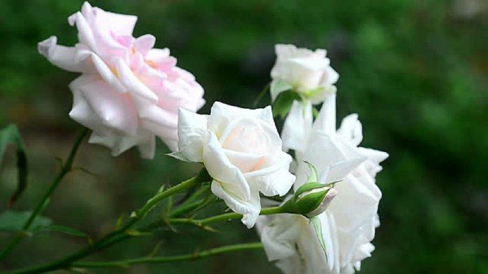 50 Σποροι Ασπρο Τριανταφυλλο. Photo 4