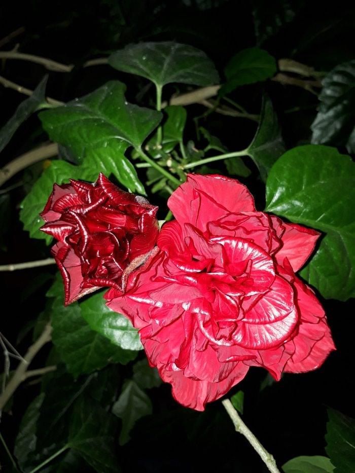 Роза китайская.. высота примерно 1,5 метра в Бишкек
