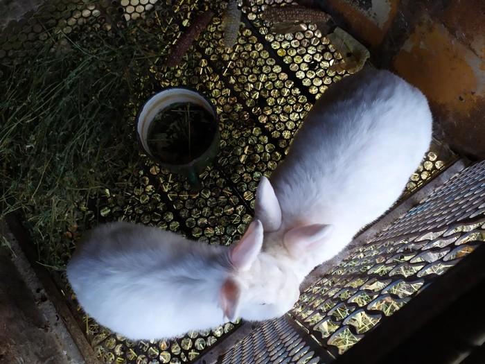 СРОЧНО!!!!!! продаю кроликов НЗБ !!!БОЛЬШИХ 1500с И МАЛЕНЬКИХ 700с. Photo 0
