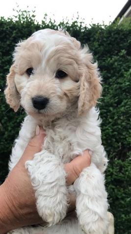 Here I have a outstanding litter of home raised cockerpoo puppy's we are looking for loving caring homes with poeple who has time and love to raise our pups into happy family pets