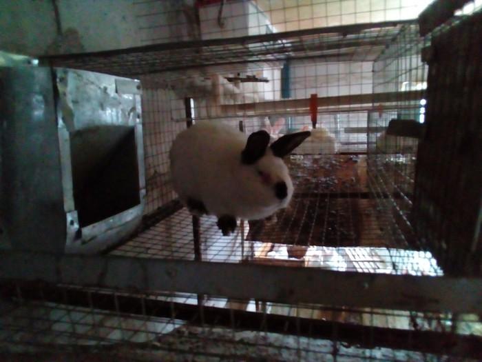 Продаются калифорнийские крольчата. Photo 3