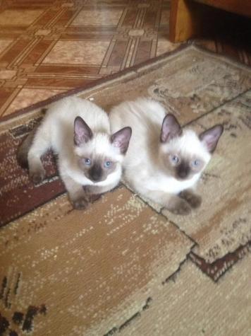 Siamese kitten Γάτα του Σιάμ. Photo 0