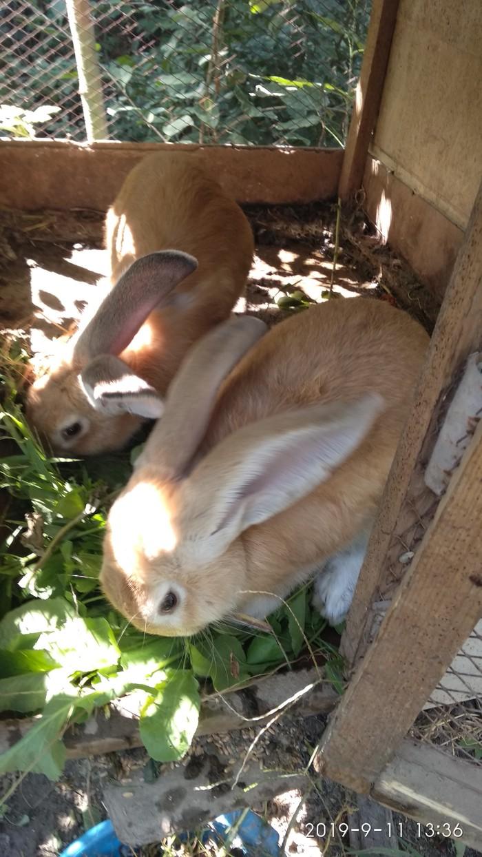 Кролики7,месецев девочки еще неслучали, крупные. Photo 1