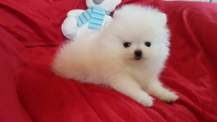 Pomeranian όλα kc reg
