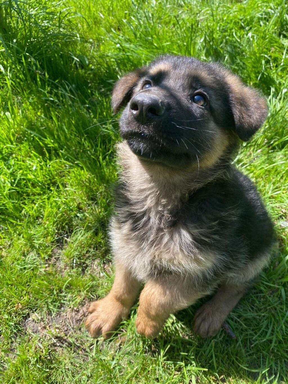 Продаются щенки немецкой овчарки, возраст 2 месяца привиты, проглист: Продаются щенки немецкой овчарки, возраст 2 месяца , привиты, проглист