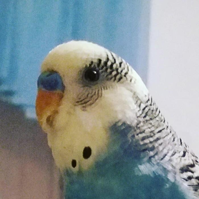 Приученный  волнистый папугай с клеткой,корм,мел,песком. Photo 1