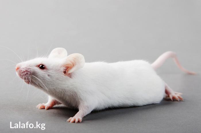 Продаю лабораторных мышей. Photo 0