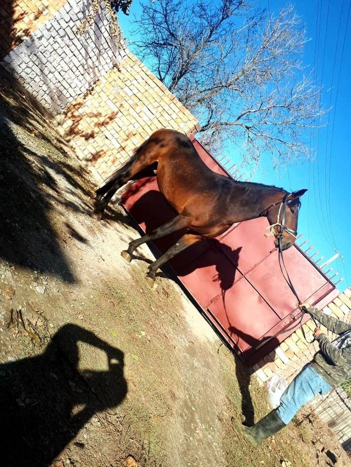 Лошади из России в Кант
