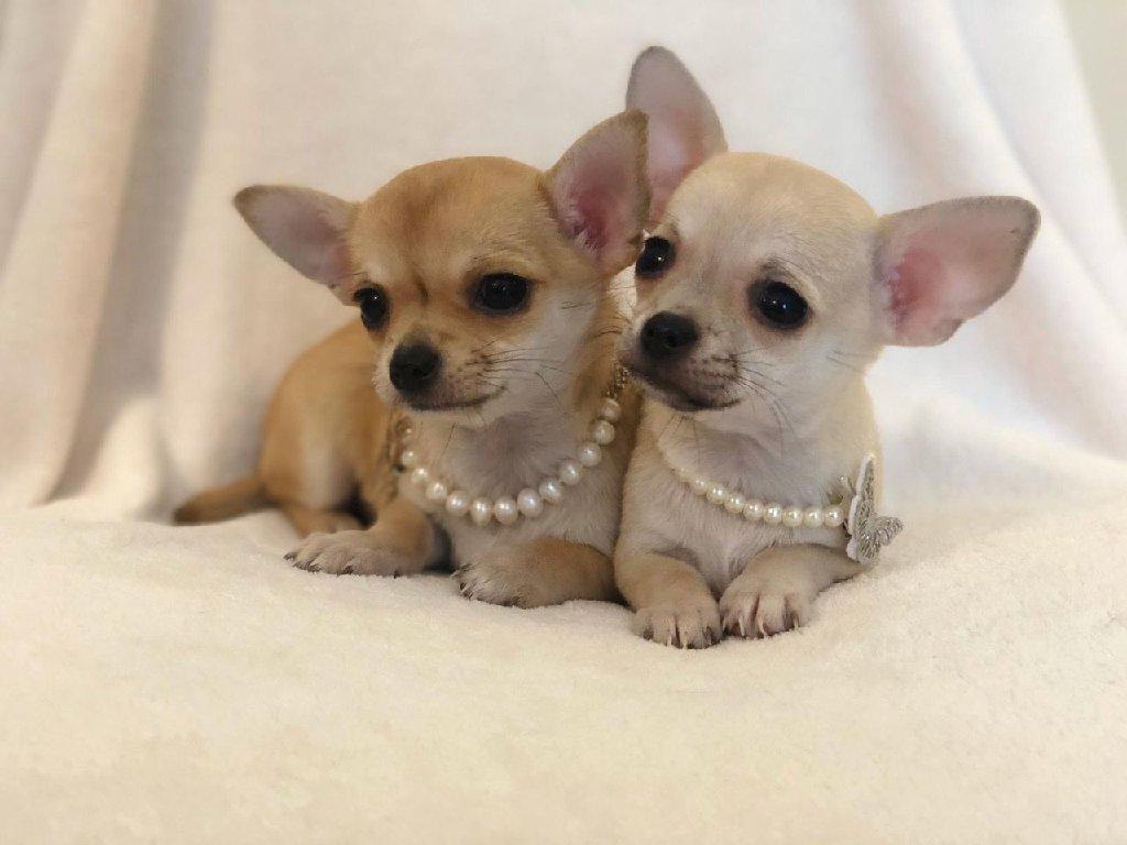 Τσιουάουα σκυλιά και κουτάβια προς πώληση