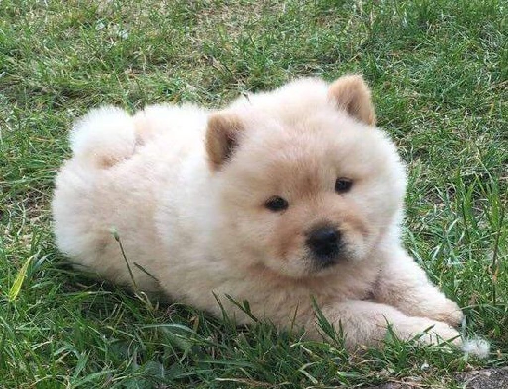 Chow chow availabel kc reg