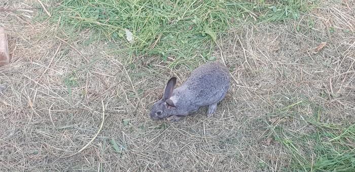Продаю кролик мясные. Photo 0