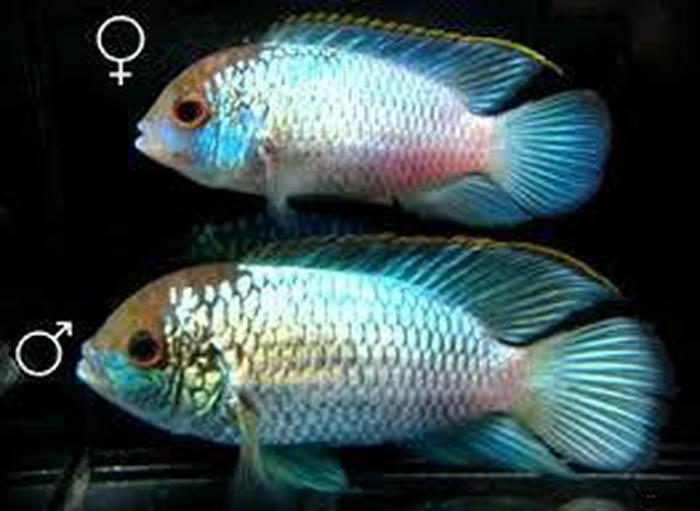Аквариумние рибки цени договорние. Photo 3