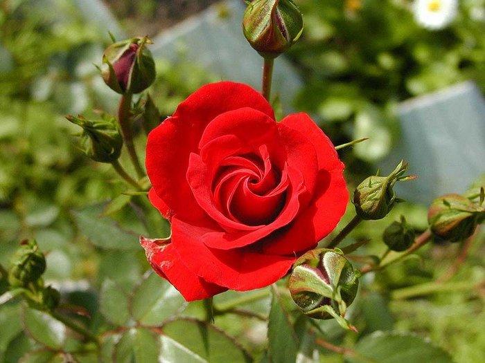 50 Σποροι Κοκκινο Τριανταφυλλο σε Αθήνα