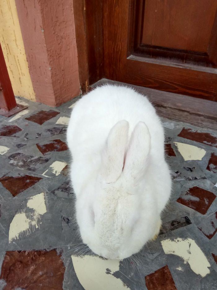 Новозеландский белый самец. Уши 10см. Вес 4100кг. Photo 0