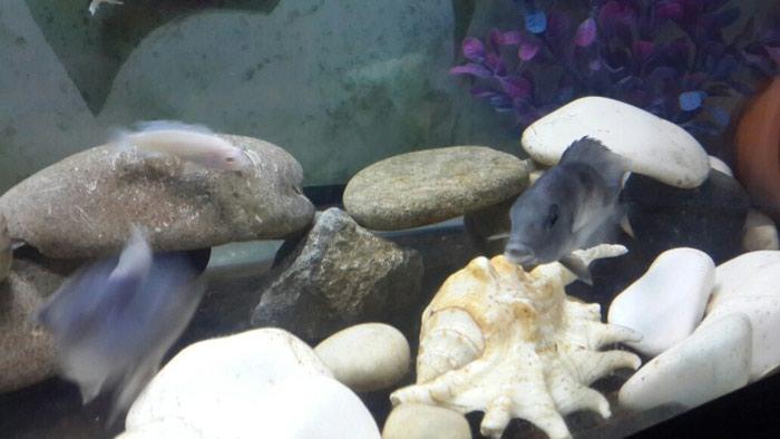 Dilfin  balıgı  9  10  santı  erkək  maya  satlır. Photo 2
