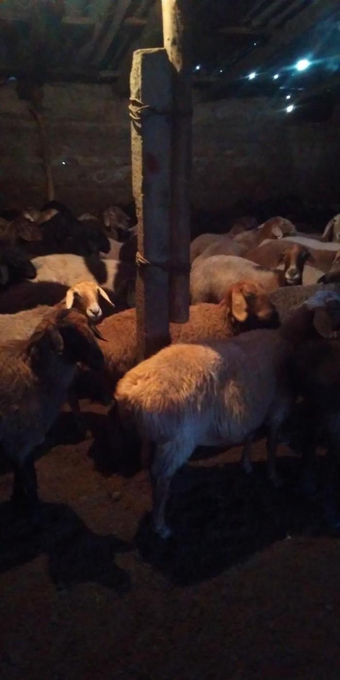 Продаю овец маток (покрытых)оптом. Photo 2