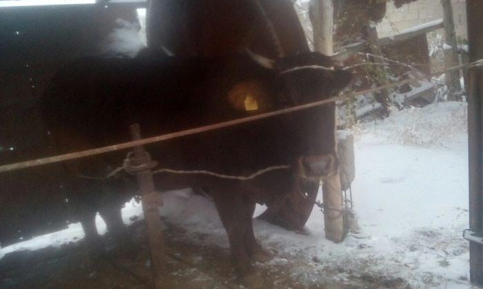 Корова. Photo 0