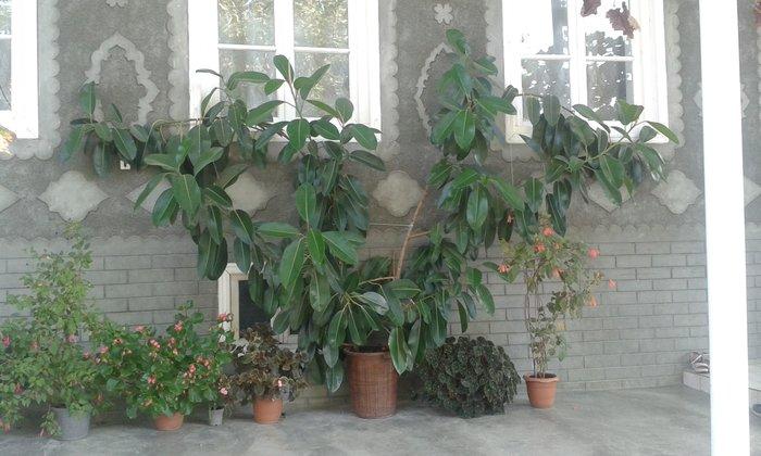 Şəki şəhərində Fikus bitkisi satılır.Hündürlüyü 3 metr.Eni 5 metr.qiymətdə razılaşa