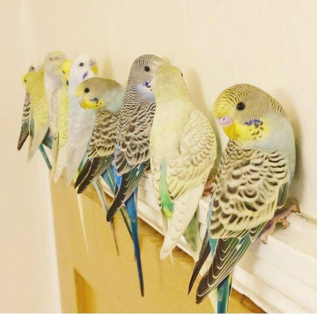 Попугайчики домашнего разведения
