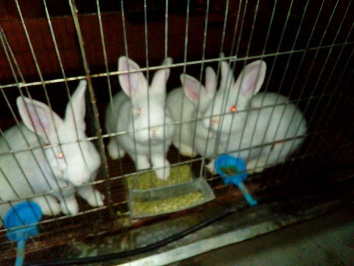 Продаются новозеландские кролики. Photo 2