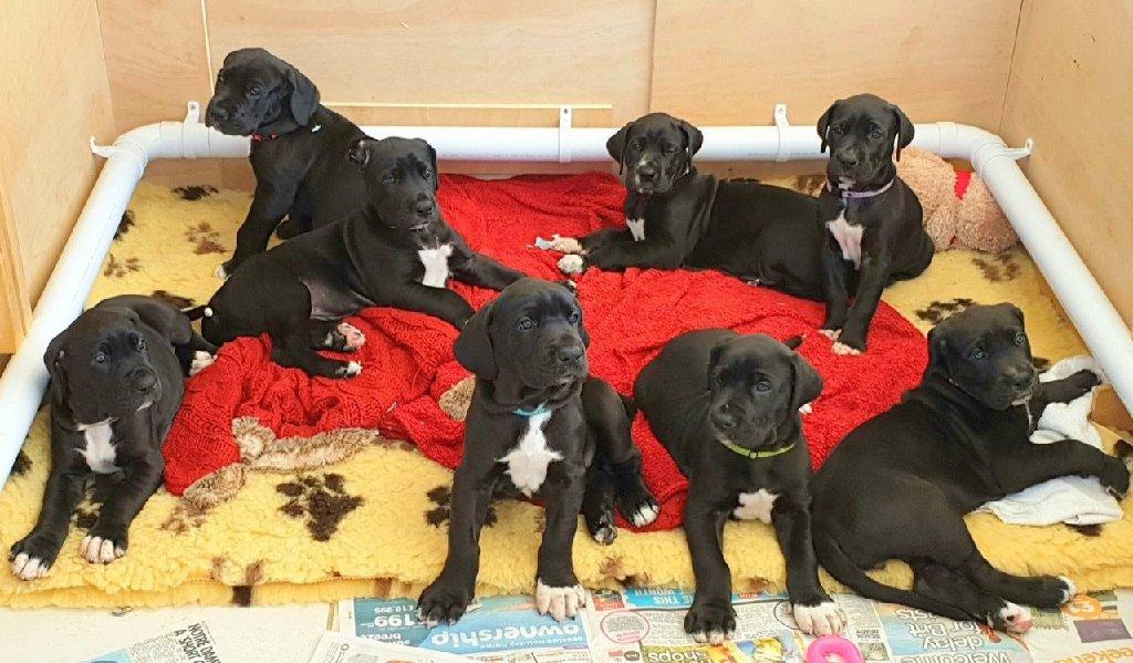 Πρωτάθλημα AKC Champion Great Dane Puppies
