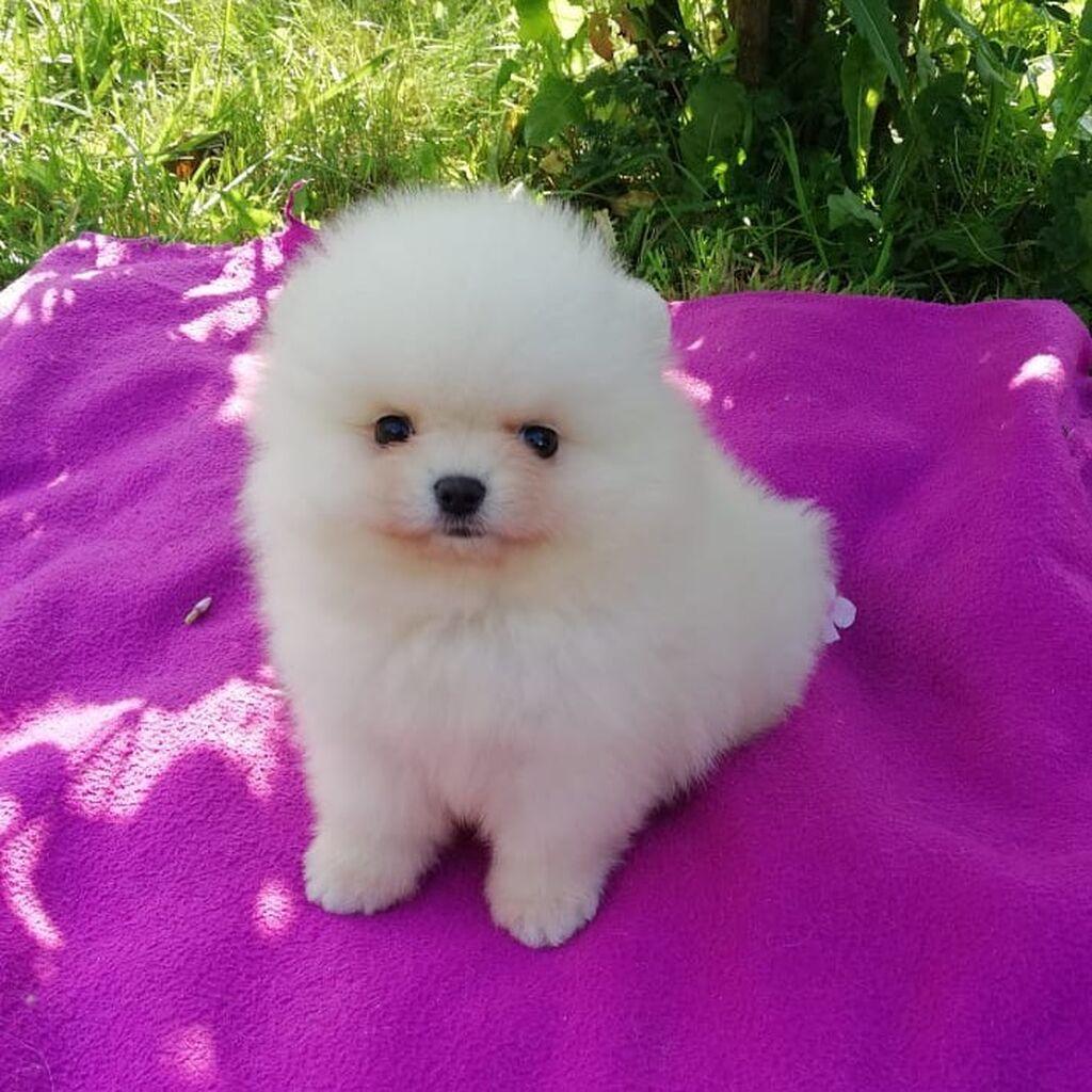 Όμορφα κουτάβια Pomeranian προς πώληση