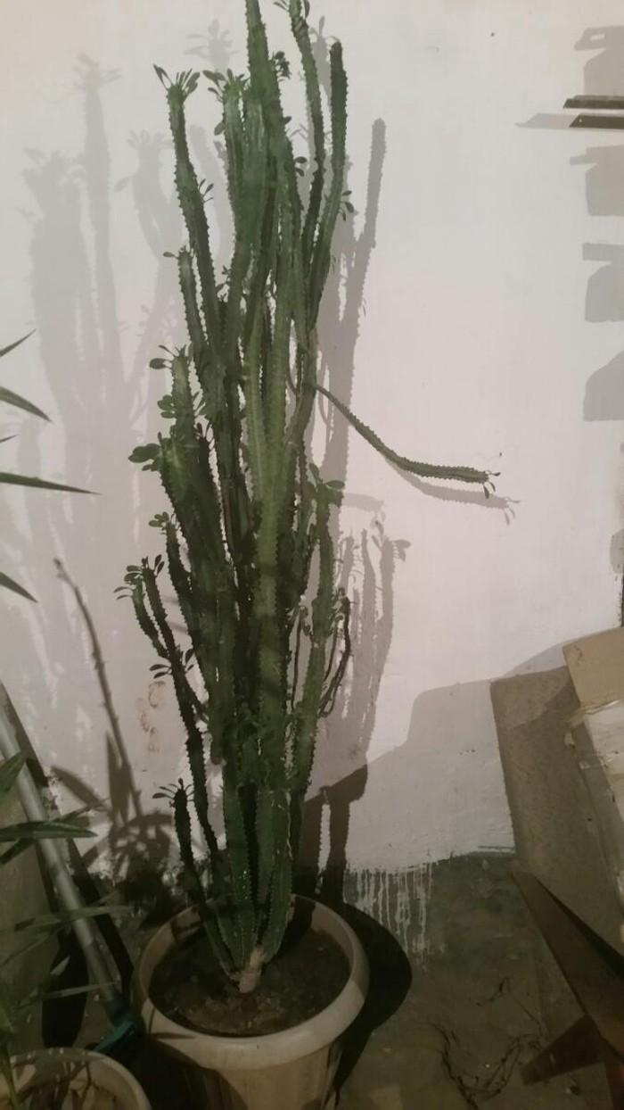 Продаю  кактус. Photo 0