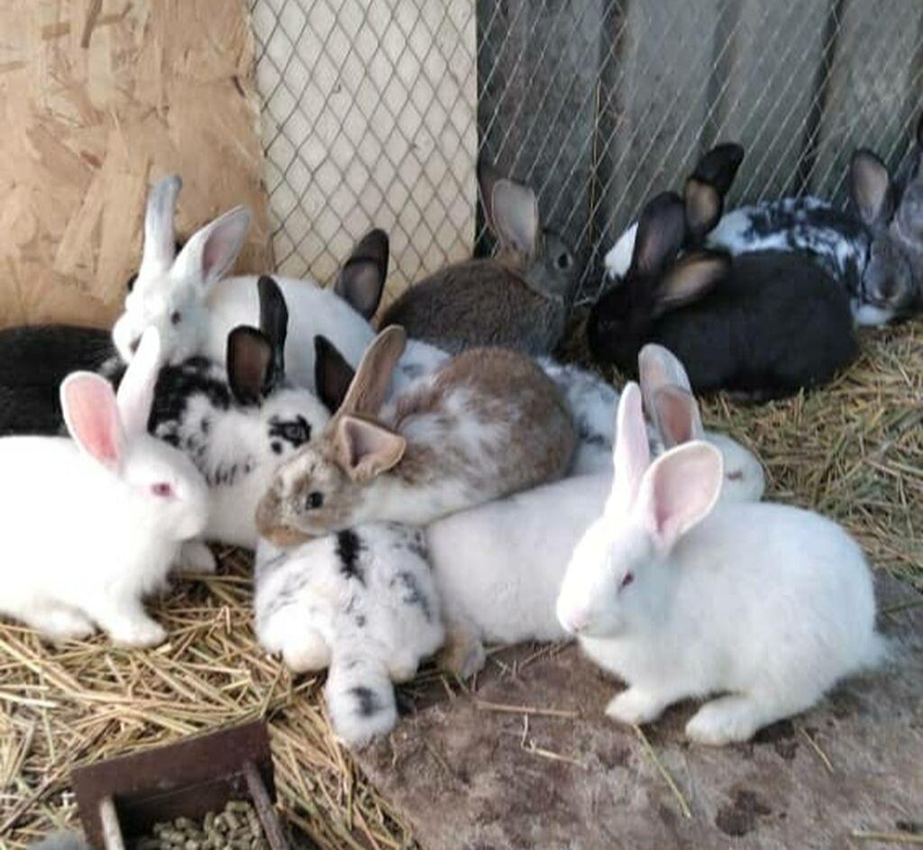 Продаю крольчат от 2-х месяцев и старше, породы разные Фландеры: Продаю крольчат от 2-х месяцев и старше, породы разные  Фландеры,
