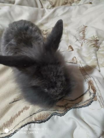 Декоративный кролик 2 месяца. Photo 3