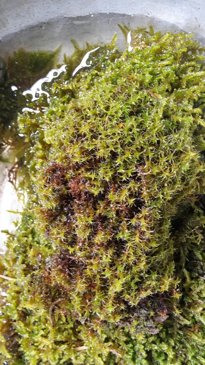 Продаю живой не стабилизованный горный мох. Photo 1