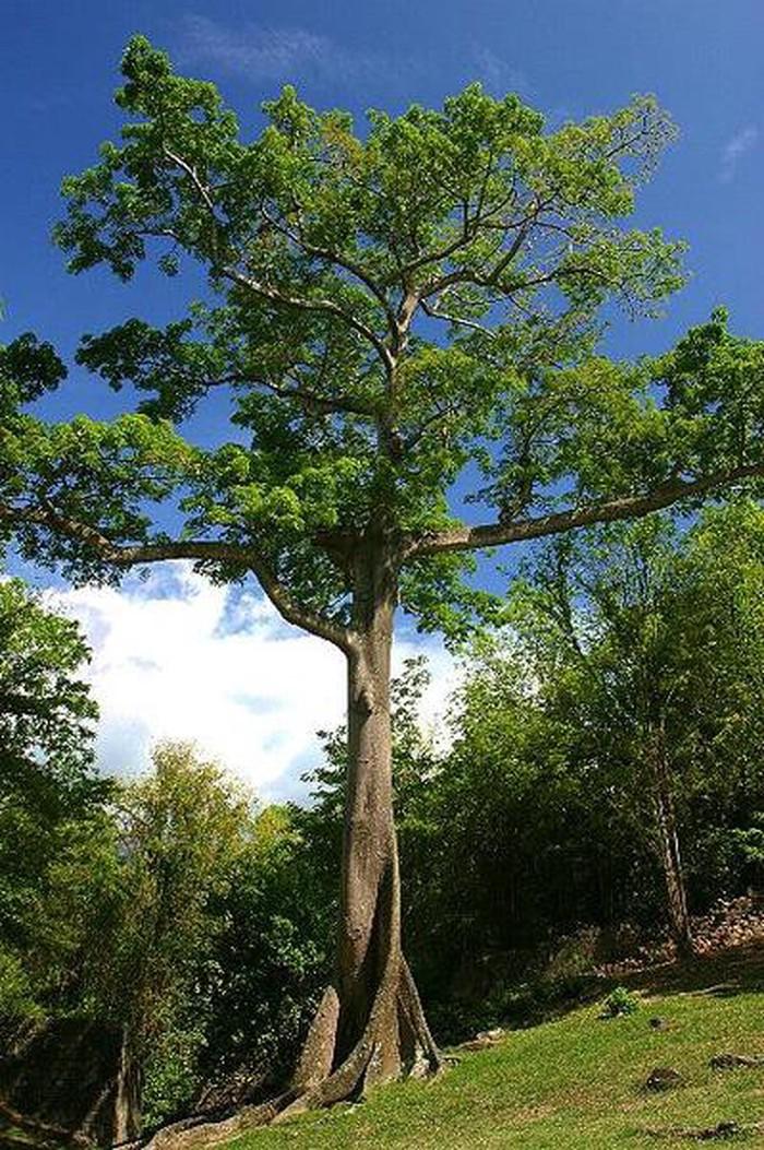 теперь деревья южной америки фото услугам